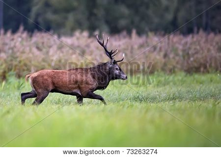 Red deer on the move, in a clearing poster