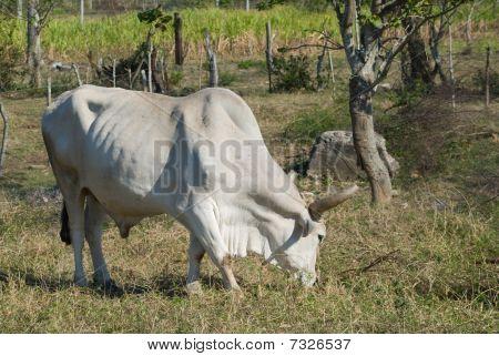 White Bull In A Farm