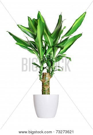 Houseplant - Dracaena Steudneri Stemm A Potted Plant Isolated Over White