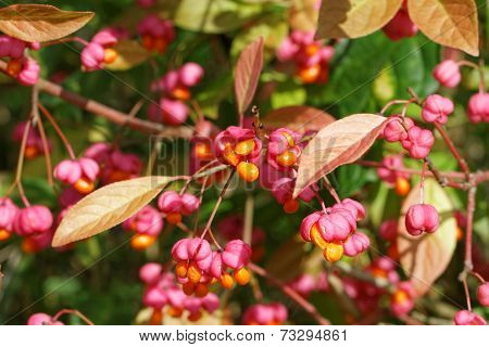 European Spindle Tree in Late Summer