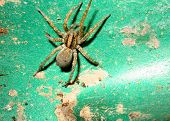 closeup of wolf spider poster