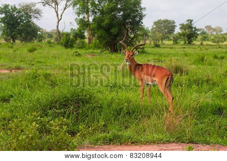 One Antilope Stands In Green Grass In Africa