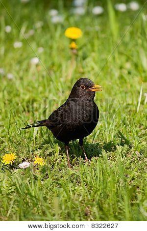 Kíváncsi blackbird