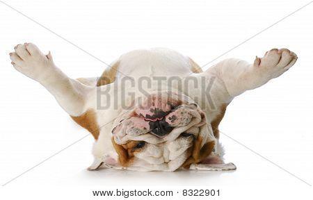 Hund auf seinem Rücken