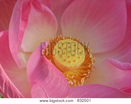 Center Of Pink Lotus Bloom