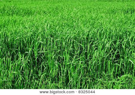 Tall Grass Background