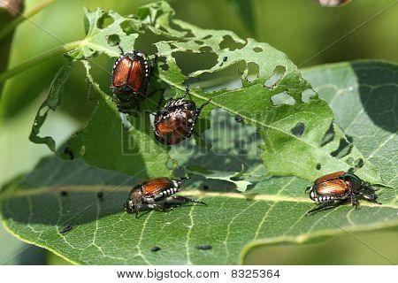 Japanese Beetle Popillia japonica eating leaf in sun poster
