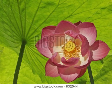 Lotus Covered Under Lotus Leaves