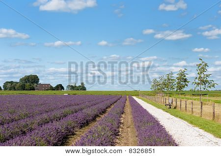 Lavender Fields In Holland