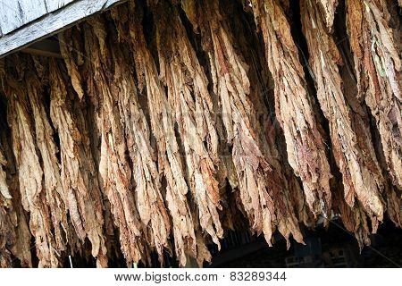 Tobacco hanging in the barn