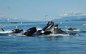 About a dozen humpback whales are feeding on herring near Juneau, Alaska poster