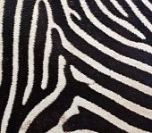 A big zebra fur close up image poster