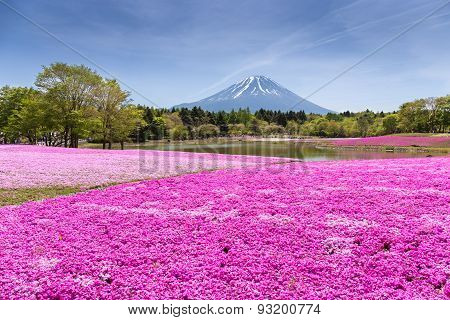 Japan Shibazakura Festival With The Field Of Pink Moss Of Sakura Or Cherry Blossom With Mountain Fuj