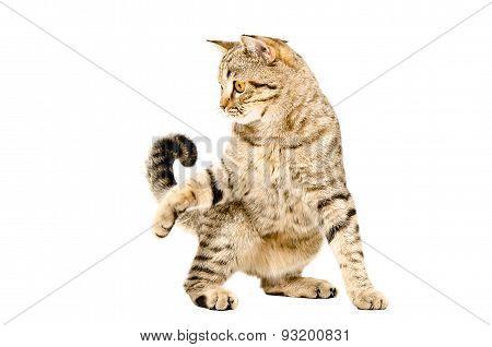 Funny playful cat Scottish Straight