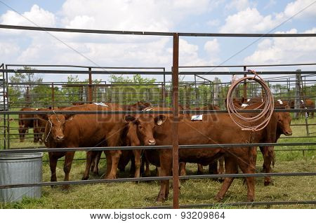 Cattle used for rodeo events