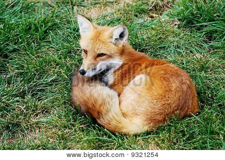 Mother Fox on the watch