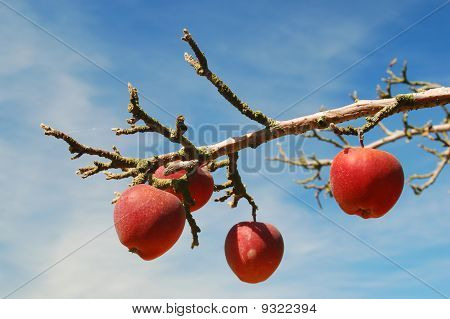 Apples Against a Blue Sky