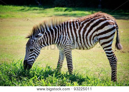 Full Body And Shown Beautiful Stripe Of Young Zebra Eating Green Grass In Open Field