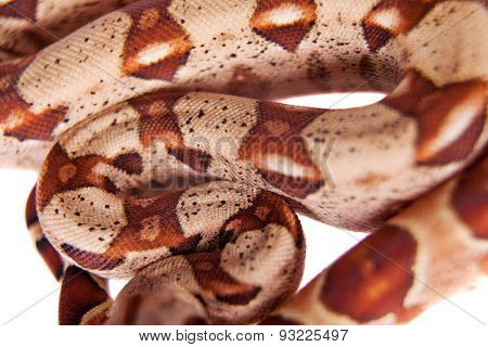 The common boa on white background