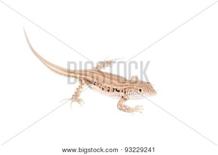 The rapid fringe-toed lizard, Eremias velox, isolated on white background poster