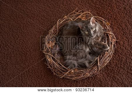 Grey Nebelung Cat In Nest