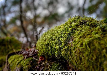 Moss growing on tree trunk. These are quite an old moss population. poster