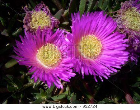 Purple Beachflower