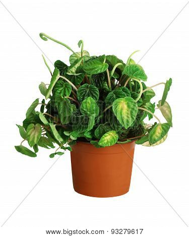 Houseplant - Peperomia Caperata A Potted Plant Isolated Over White