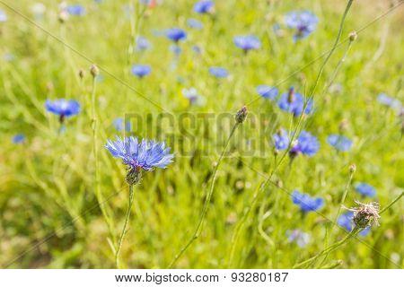 Blue Blooming Cornflowers In Soft Light