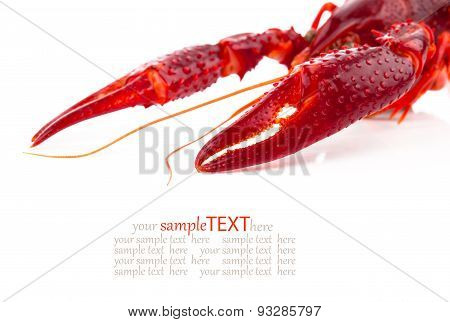 pincers of crawfish isolated on white background poster