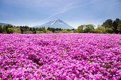 Japan Shibazakura Festival with the field of pink moss of Sakura or cherry blossom with Mountain Fuji Yamanashi Japan poster