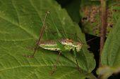 Male of a speckled bush-cricket (Leptophyes punctatissima) poster