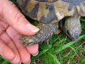 womans hand shaking turtles hand close-up over grass poster