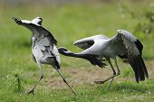 a aggresive squabble between two demoiselle cranes poster
