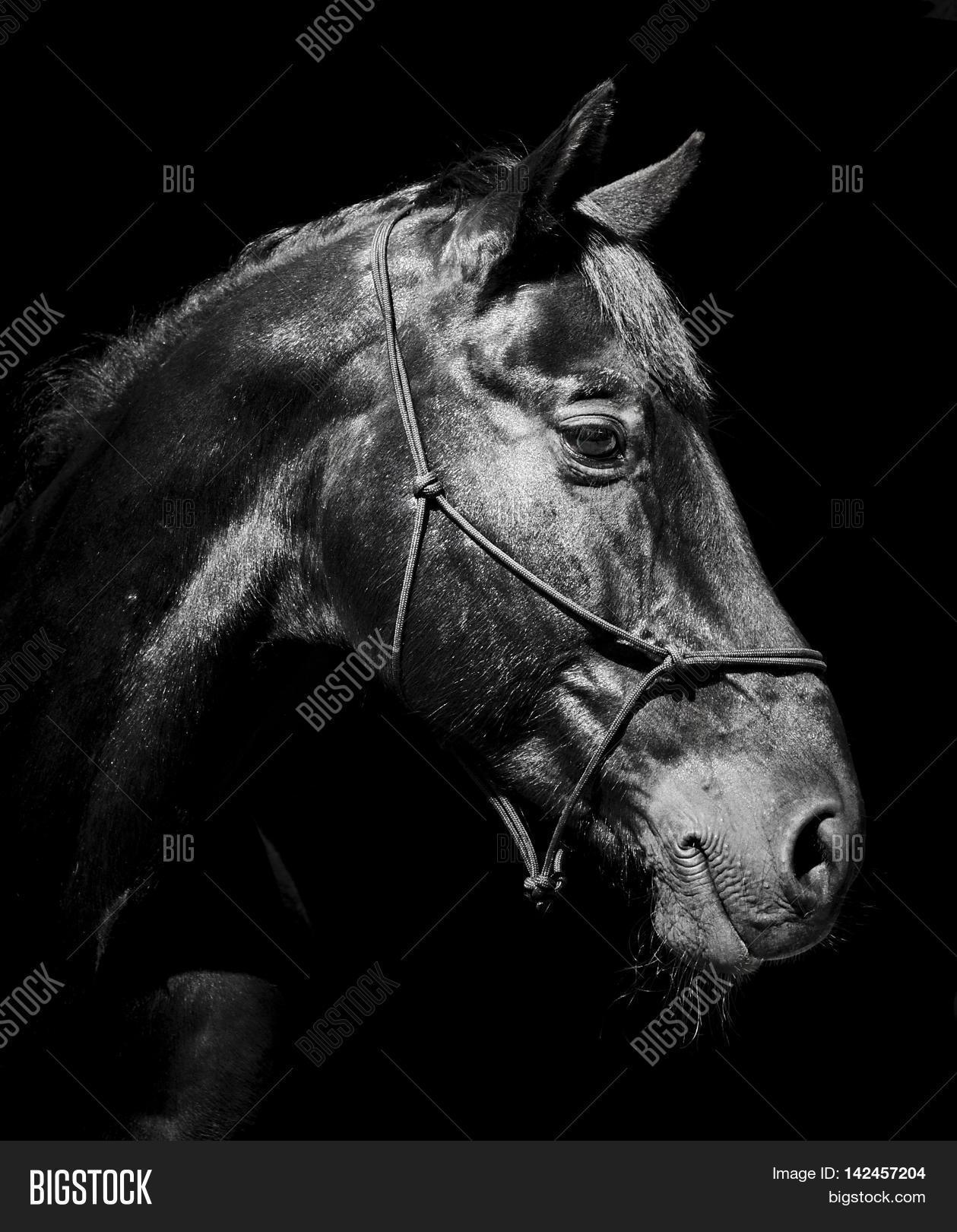 Black Horse Halter Image Photo Free Trial Bigstock