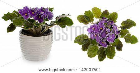 African violet (saintpolia) in decorative ceramic cache pot isolated.