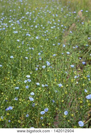 Field of blooming blue flax (Linum usitatissimum) at summer time