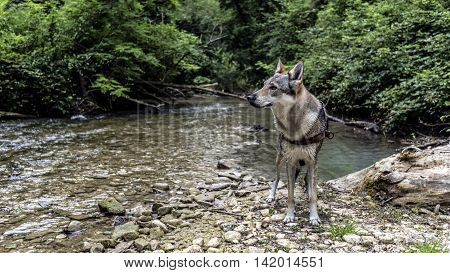 wolf dog at the river (Czechoslovakian wolf dog)