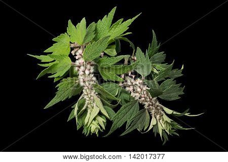 Motherwort (Leonurus cardiaca) isolated on black background. Other names: throw-wort lion's ear and lion's tail. Used in herbal medicine it is a valuable honey plant