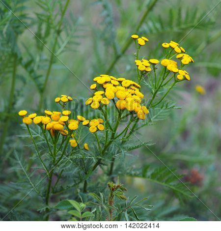 Flowers of Tansy (Tanacetum vulgare) of the Asteraceae family (Yakutia)