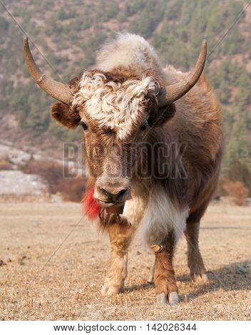 View of White and Brown yak on meadow