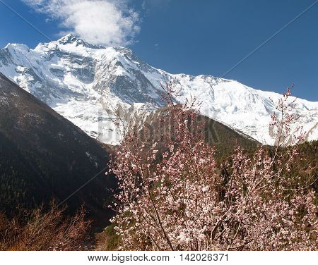Front summit of Annapurna II 2 from Upper Pisang village with flowering apricot tree. Springtime in Annapurna circuit trekking trail round Annapurna route Nepal