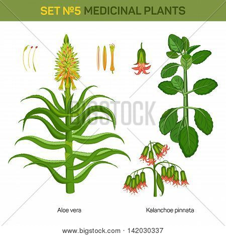 Aloe vera and kalanchoe pinnata medical plants. Bryophyllum pinnatum or air or life plant, cathedral bells with flowers and branch of miracle leaf, healing stem of goethe plant. Remedial flora