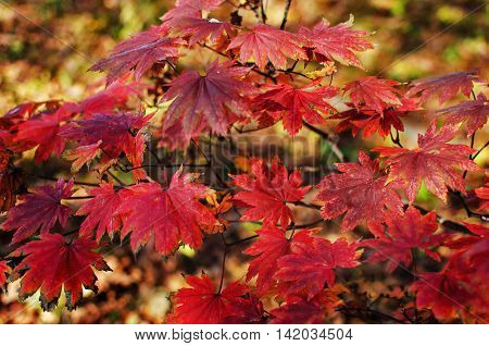 A carpet of autumn leaves yellow and crimson for a beautiful background