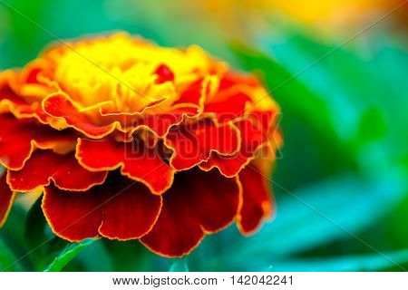 Macro Of Marigold Flower