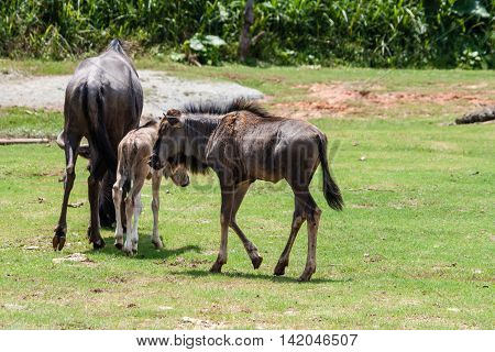 Wild Mother gnu Helping new Born Baby