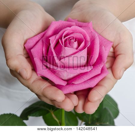 beautiful pink rosebud in hands close up