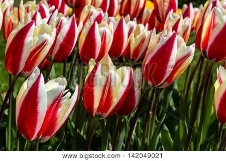 Tulipa Spring Surprise in Keukenhof located in Netherlands