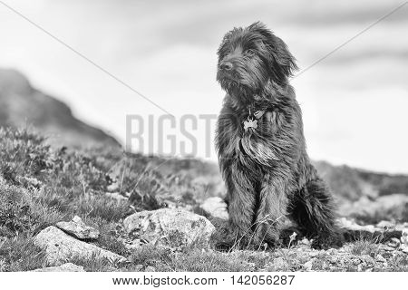 Sheepdog Faraway Look Black And White