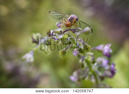 Macro photography of the fruit fly is tasting the sweet of the basil flowers